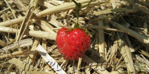Variedades de fresas, variedad de sabores