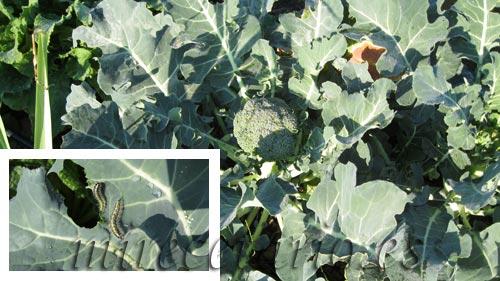 Planta de Brócoli y oruga peluda comiendose las hojas