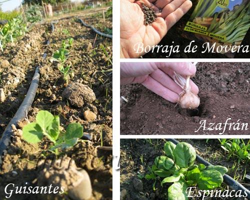 Plantas de guisante, semillas de borraja, bulbos de azafrán y planta de espinacas.