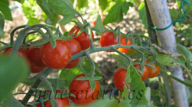 Al rojo tomate para #mihuerto2