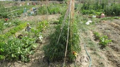 Las tomateras mas creciditas, ya en el mes de junio