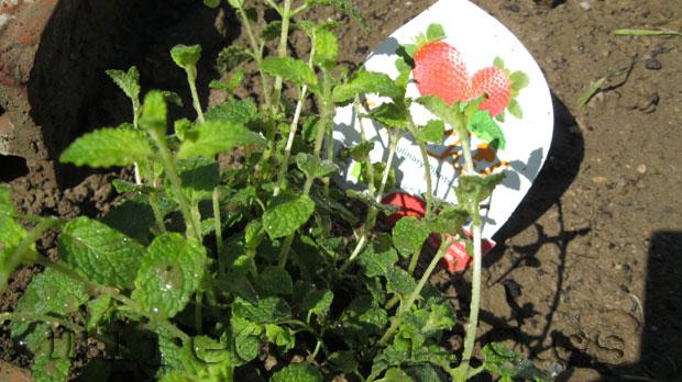 Planta de menta fresa eco.