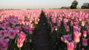 campos de tulipas holanda
