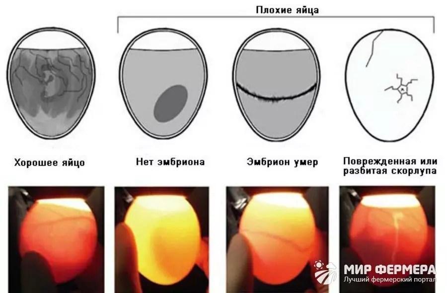 Eier Eierdefekte.