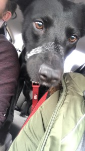 Puppy riding in car
