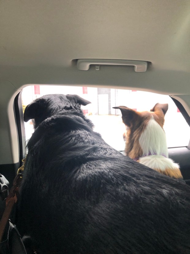 Dogs in car looking out window