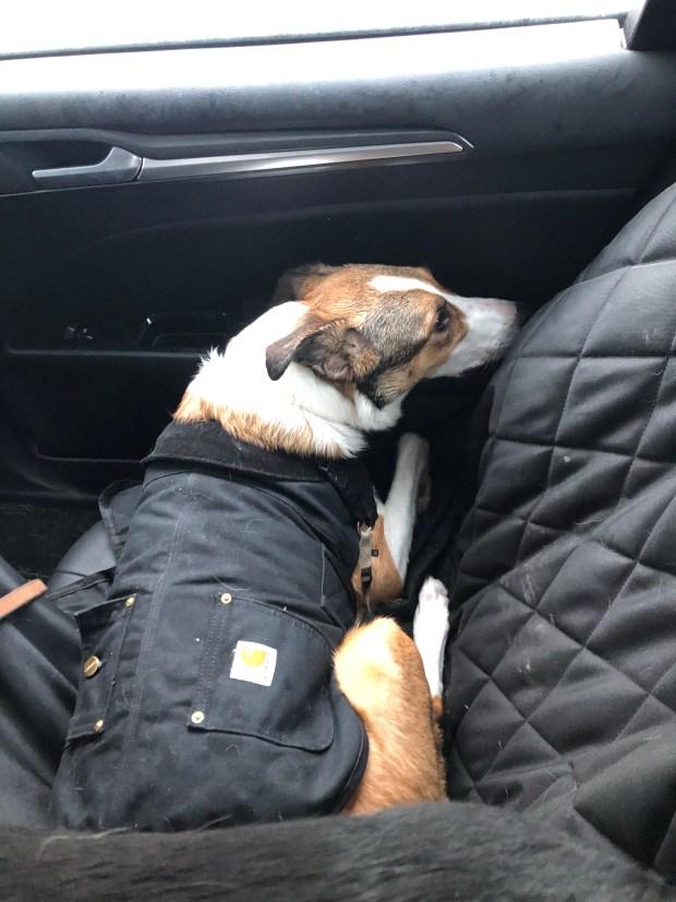 Dog cuddled up in car