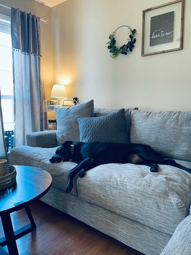 Dog laying on couch in living room
