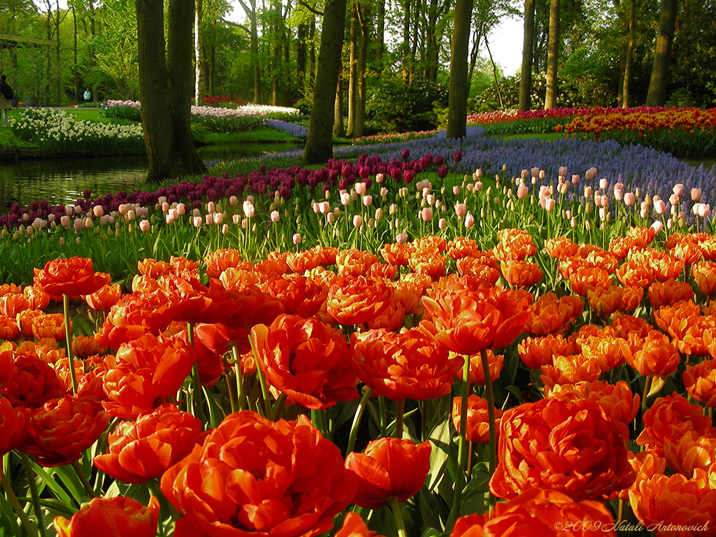 Tulpen Park In Holland Kekenhof Beamte Farbpark Kekenhof Keukenhof In Holland