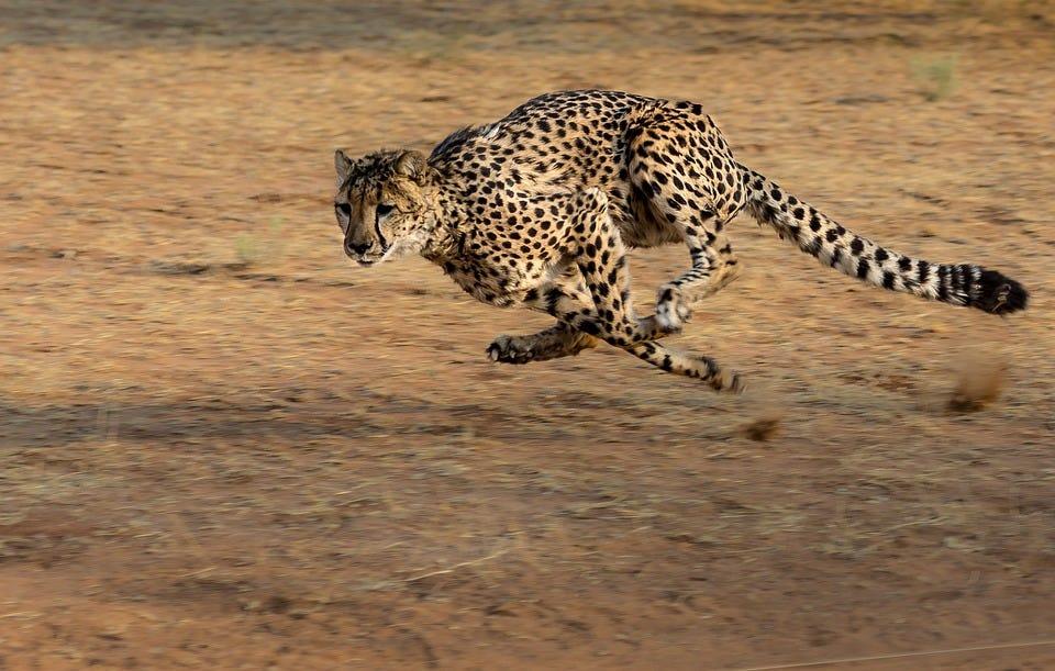 cheetah s speed how
