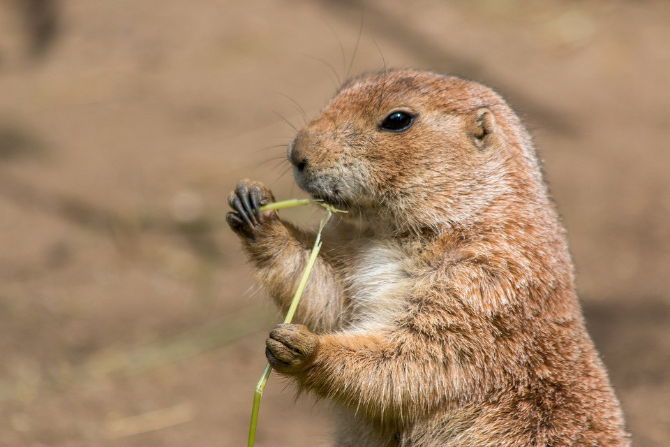 prairie dog chatter the