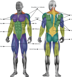 the main muscle groups targeted through strength training [ 1154 x 984 Pixel ]