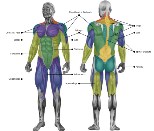 small resolution of the main muscle groups targeted through strength training