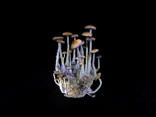 The No-fail Beginners Guide to Growing Psilocybin Mushroom 2