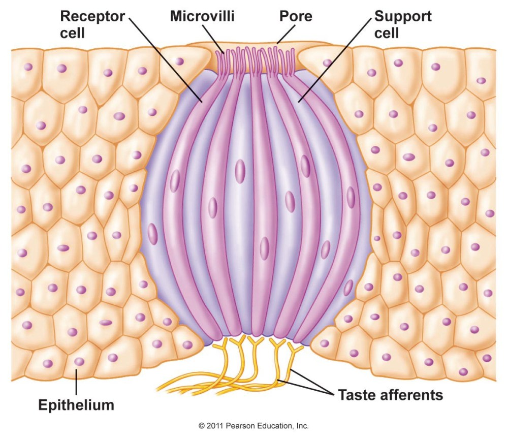 medium resolution of this is a diagram of a taste bud image credit pearson education