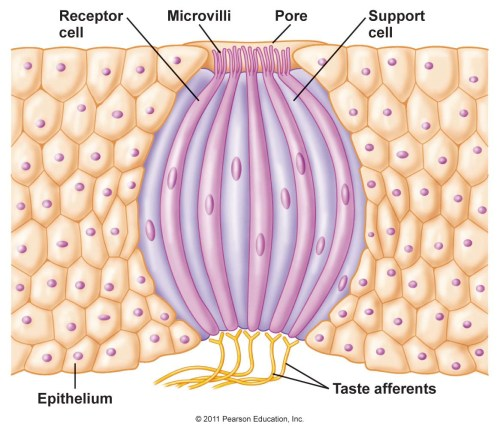small resolution of this is a diagram of a taste bud image credit pearson education
