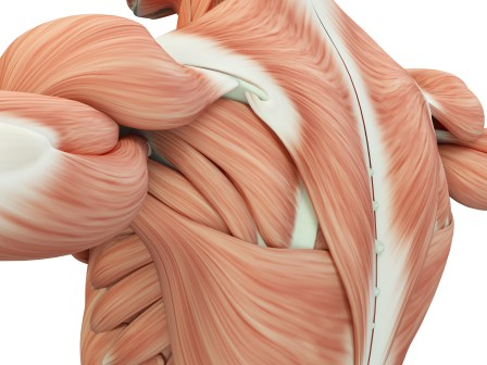 Image result for muscles