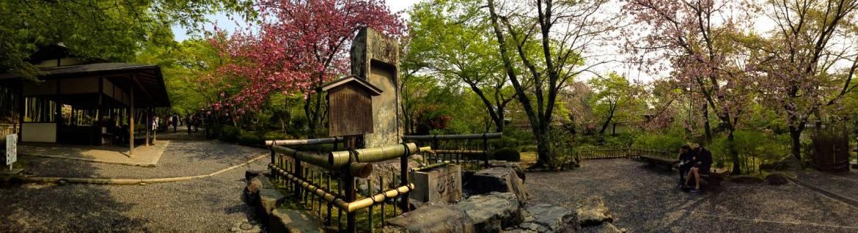 cherry blossoms kyoto