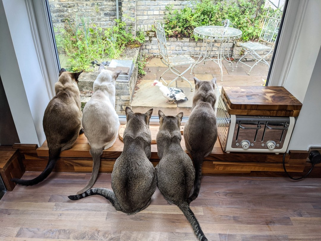 A group of cats (five in total) are grouped together inside, looking down a large second floor window at a duck on the patio