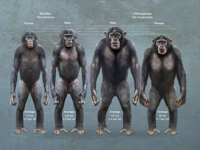 are bonobos violent