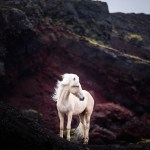 Just 15 Photographs Of Majestic Horses In Iceland By Jack Shepherd Tenderly