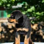 Rottweiler Puppy For Sale By Ivan Vujkovic German Rottweilers Fere Perfectum Medium