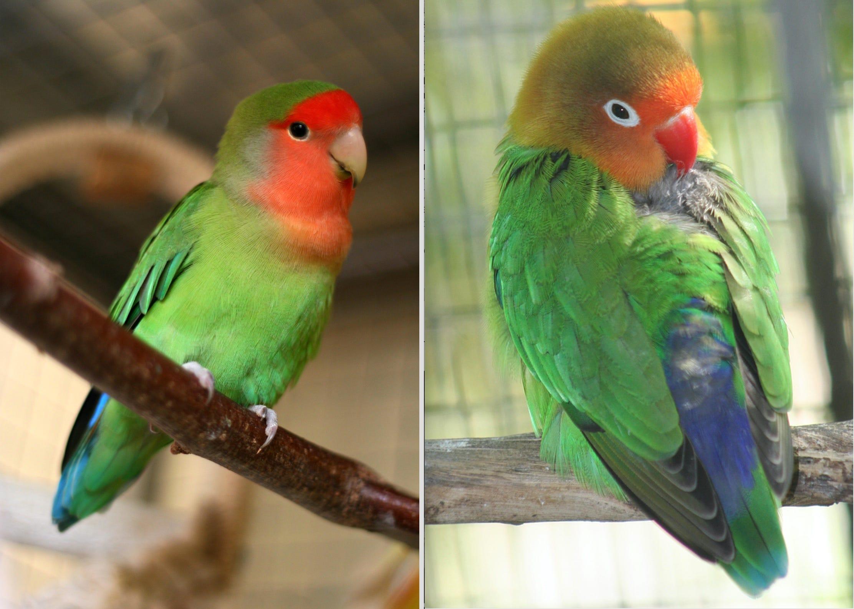 lovebird behavior nature or