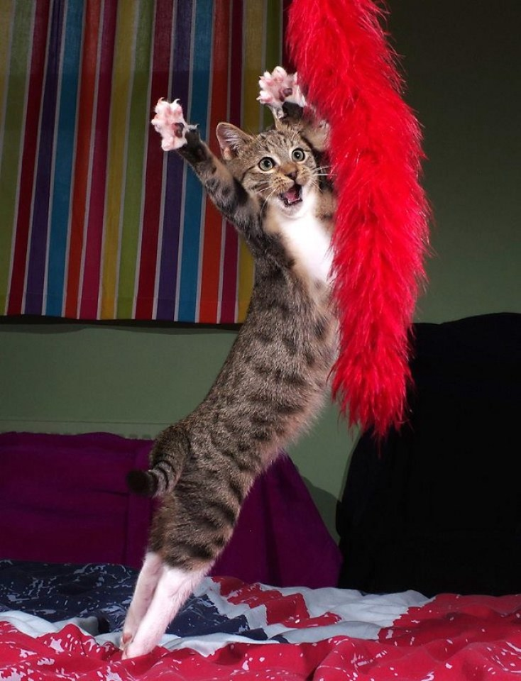 A cat is leaping in the air, paws extended towards a large red feather boa type toy, as if dancing