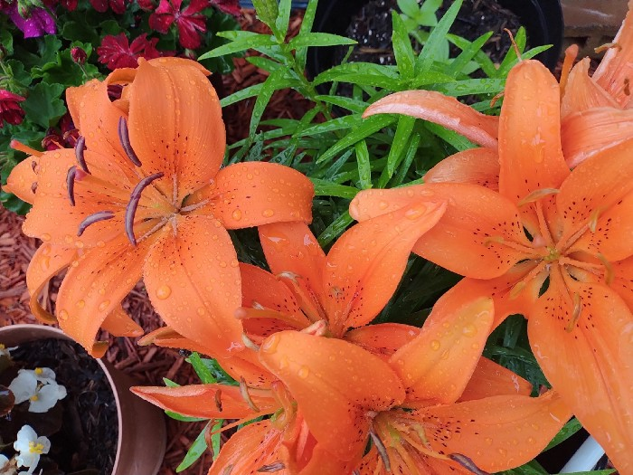 Bright orange lily flowers sprinkled with rain drops