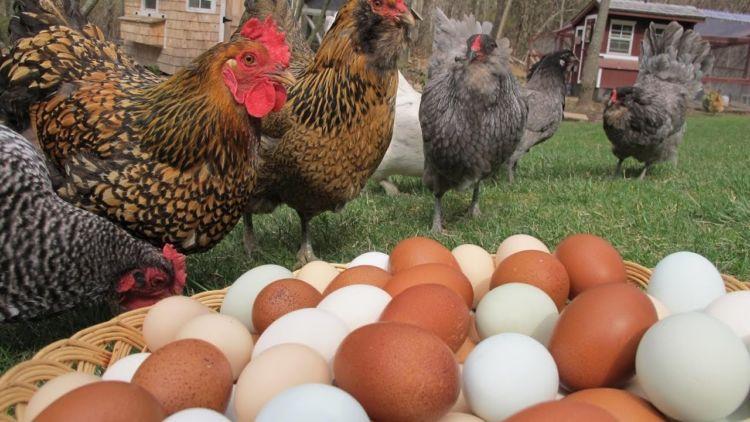 Miért hagyta abba a csirkék a rohanást