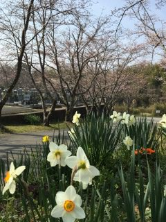 篠田山霊園の桜