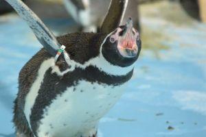 叫ぶペンギン