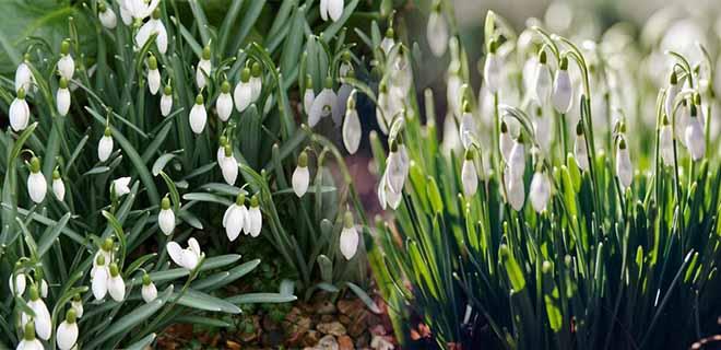 подснежник время цветения