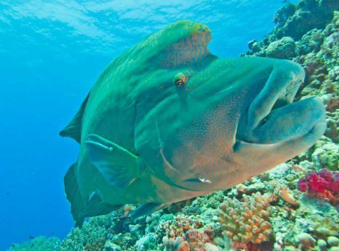 Sipadan humphead