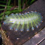 Mulu, amazing Caterpillar