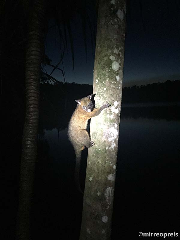 Lake Eacham 001 Possum