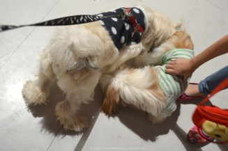 Here is Barbie with another shih tzu