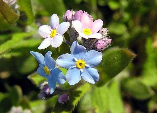 Haiku: The First Day Of Spring... forget me nots