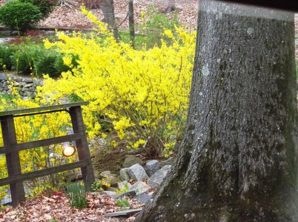 Weekly Photo Challenge: Yellow - A dash of yellow wisteria in my backyard