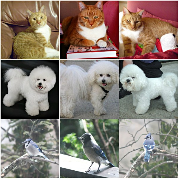 Haiku: Bichon Frisé Named Bob -  Cat (Tangy), Dog (Bob), and Bird (Bluejay) Collage
