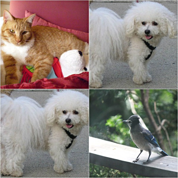 Haiku: Bichon Frisé Named Bob - Tangy, Bob and Bluejay