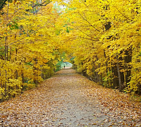 Weekly Photo Challenge: VICTORY - Fall Foliage and Colors are a Victory of Nature - Enjoy a yellow archway of bright leaves.