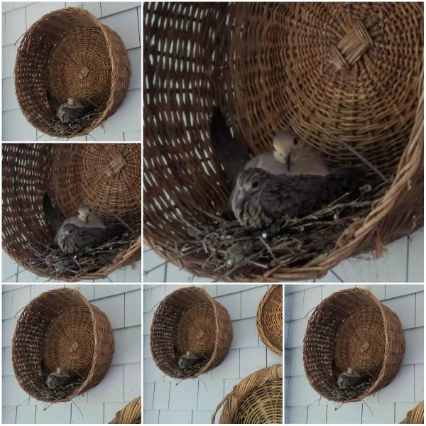 Haiku: Portraits of Two Mourning Doves