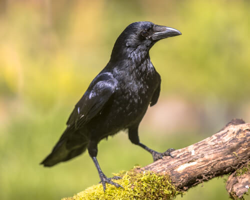 5 especies de cuervos  Mis animales