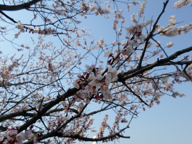 The stunning cherry blossoms in Guri