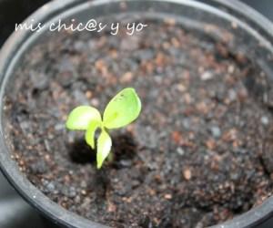 Semilla de manzano, planta
