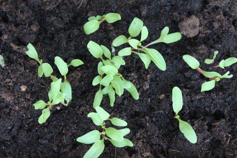 Semillas germinadas de tomate