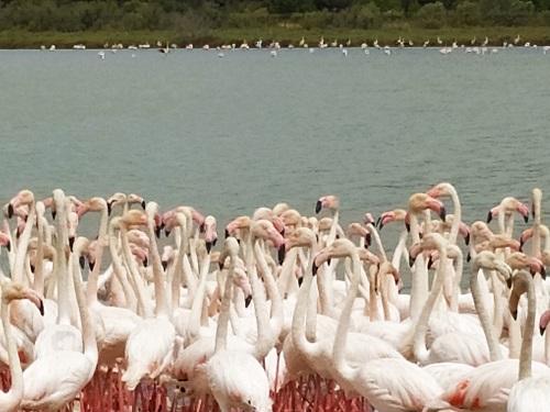 Colonia de flamencos en la Reserva Africana de Sigean