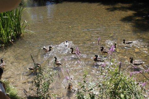 Patos, río Arlanzón, Burgos