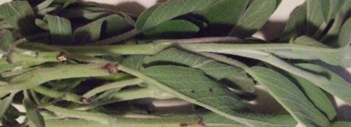 Fresh sage leaves out of the box